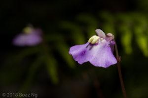 Utricularia grampiana