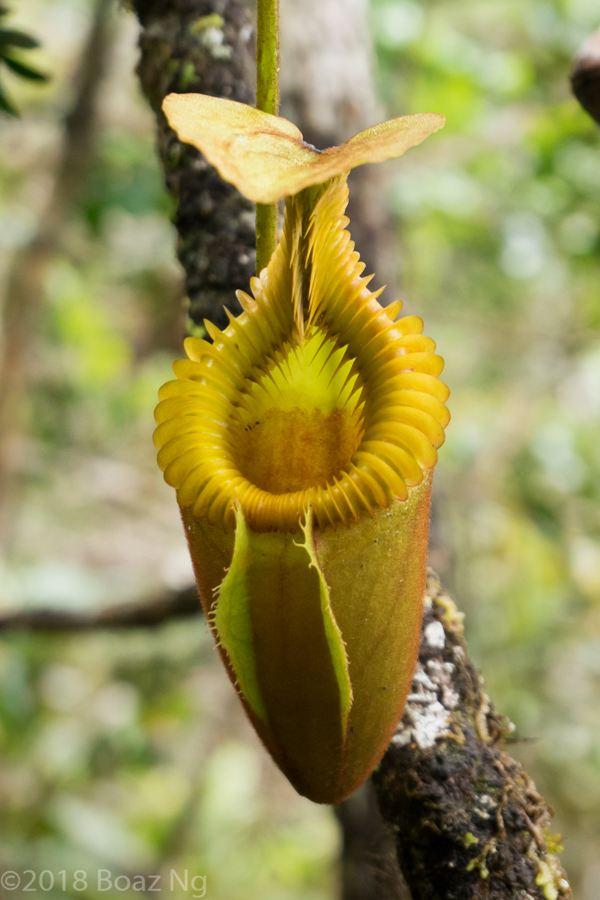 Plants in the wild: Nepenthes villosa