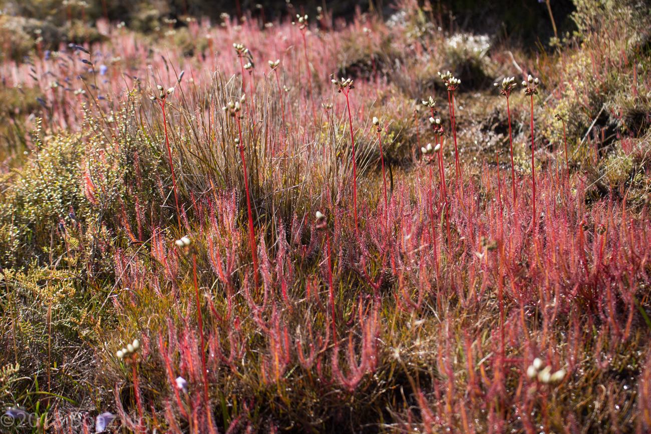 Alpine Drosera of the Tongariro Region, New Zealand