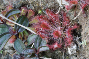 Plants in the Wild: Drosera oblanceolata and its Hybrids
