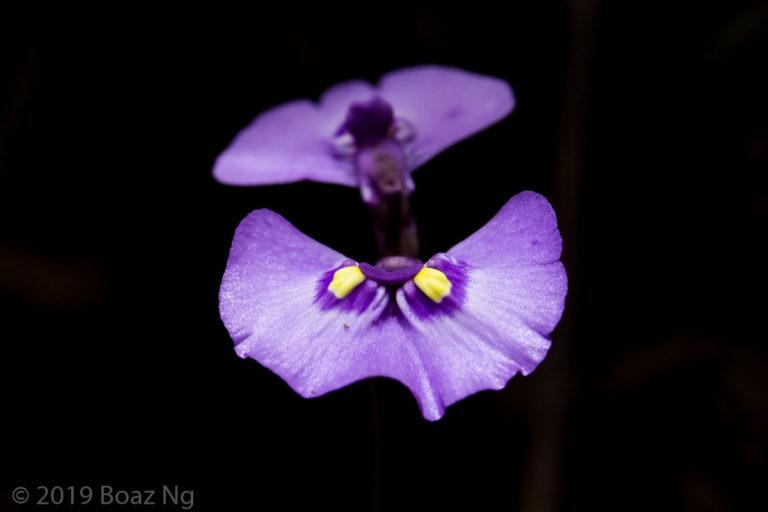 Comparing Utricularia dichotoma, grampiana, barkeri, uniflora and aff. dichotoma Maddens Plains