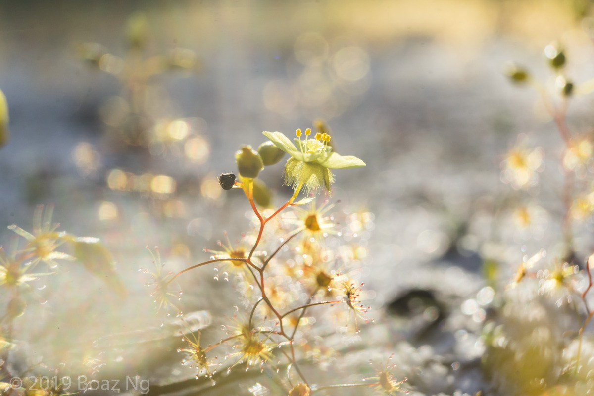 Species spotlight: Drosera zigzagia