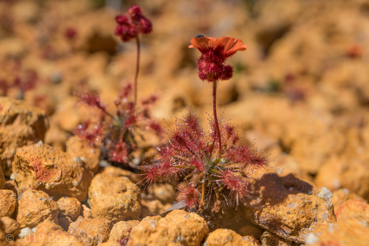 Species spotlight: Drosera barbigera