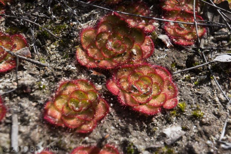 Drosera zonaria Species Profile