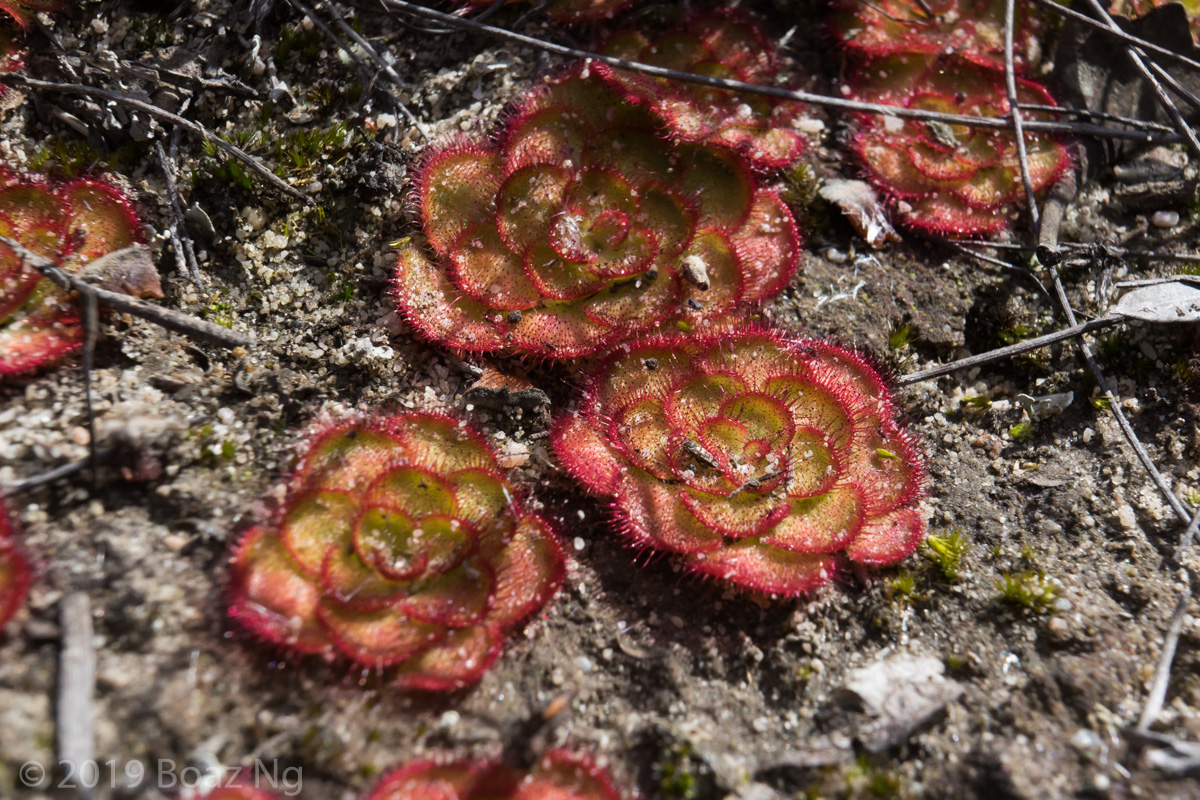 Species spotlight: Drosera zonaria