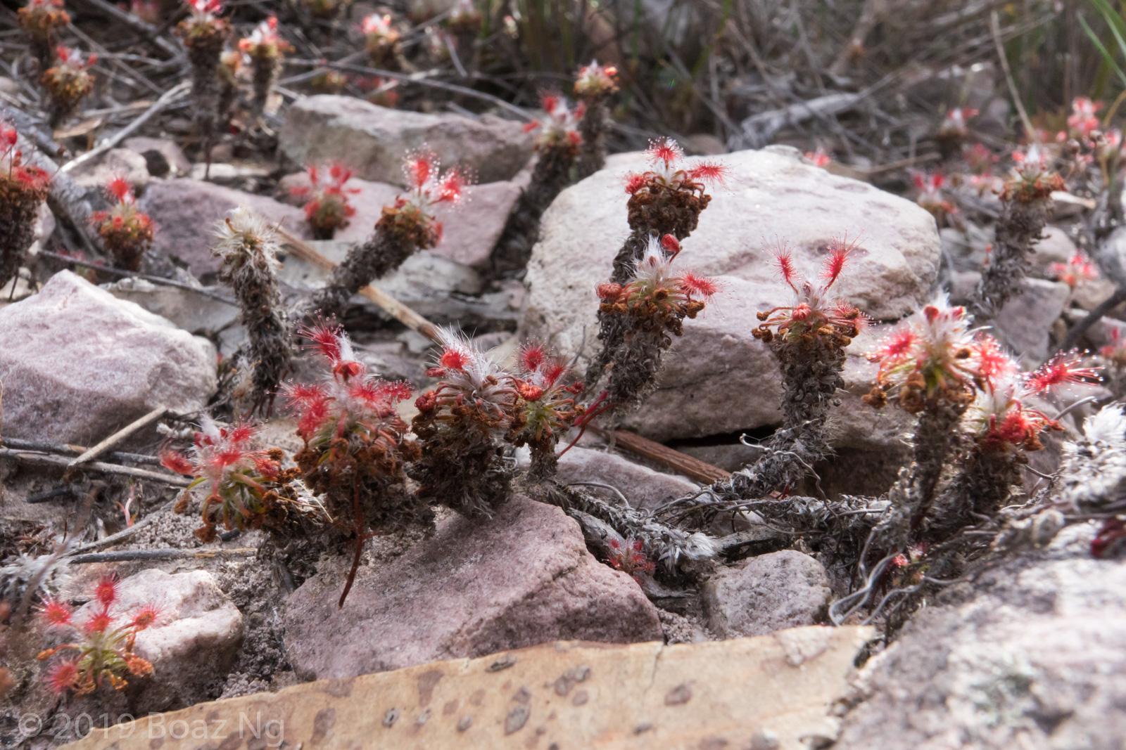 Species spotlight: Drosera gibsonii