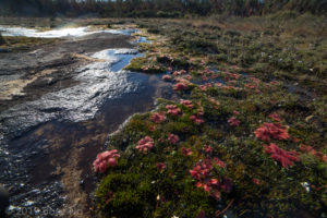 Species Spotlight: Drosera bulbosa