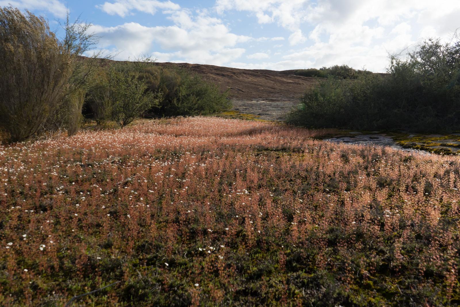 Carnivorous plants of the Western Australian granite outcrops