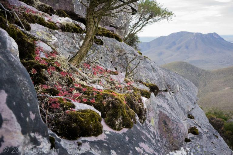Plants in the wild: Drosera monticola