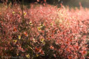 Species spotlight: Drosera gigantea