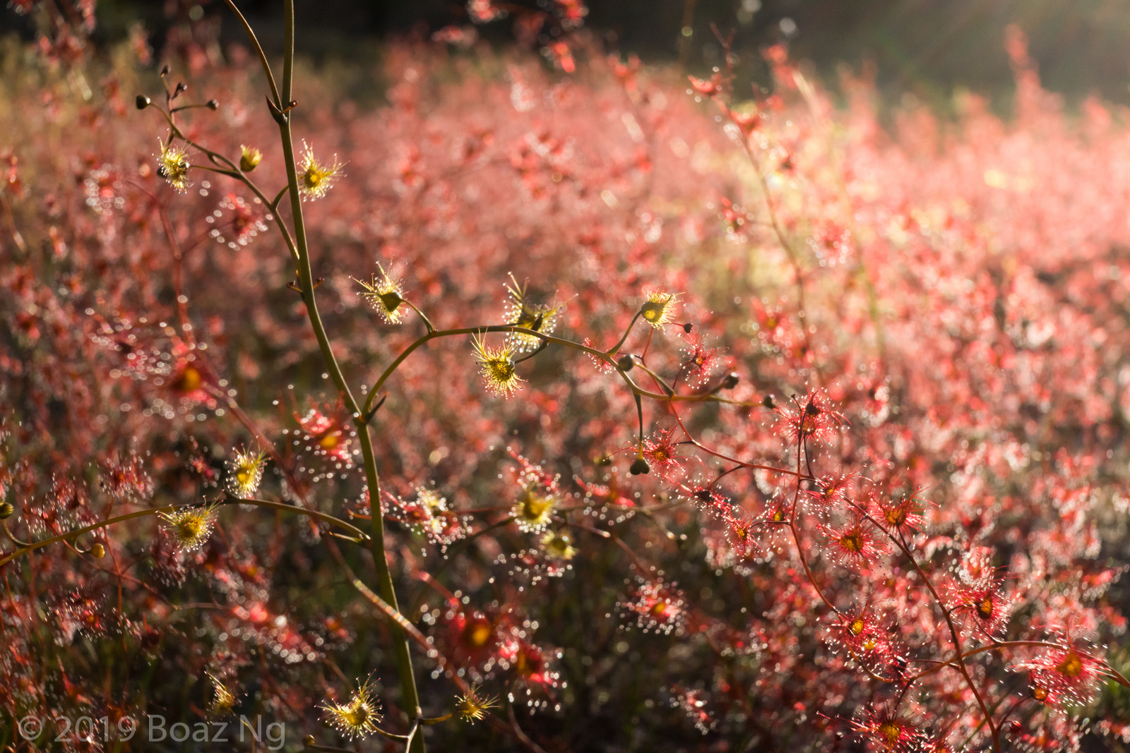 Species spotlight: Drosera gigantea