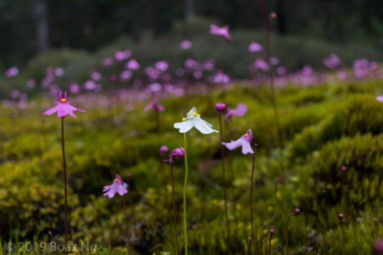 Utricularia multifida Species Profile