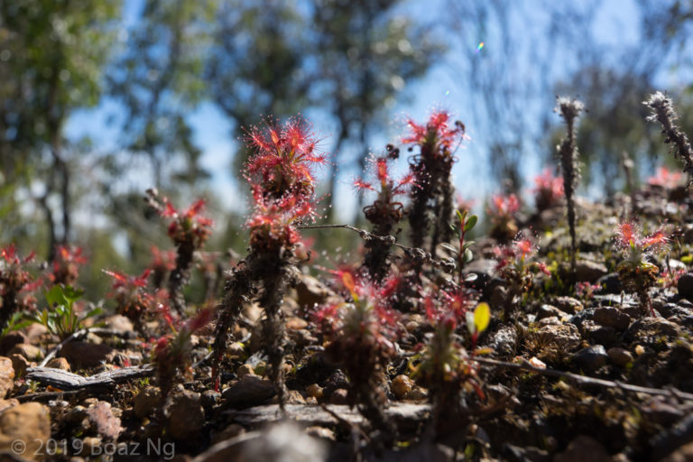 Drosera lasiantha Species Profile