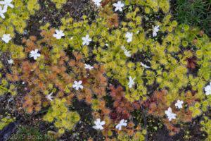 Species spotlight: Drosera rupicola