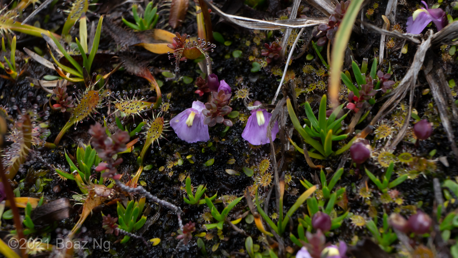 Species spotlight: Utricularia dichotoma subsp. monanthos