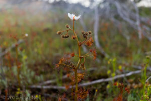 Species spotlight: Drosera yilgarnensis