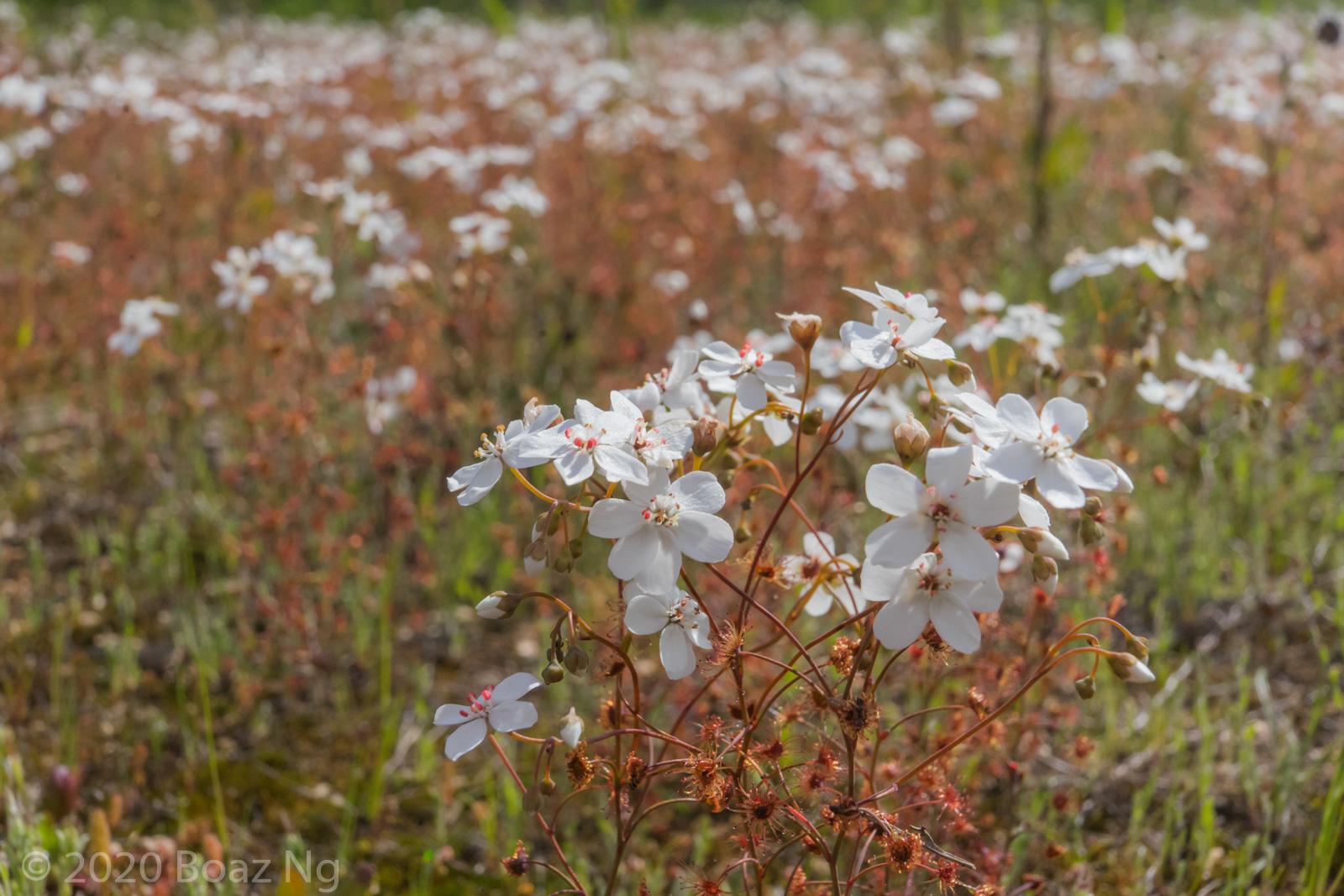 Species spotlight: Drosera graniticola