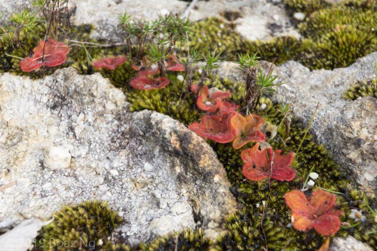 Drosera erythrorhiza Species Profile