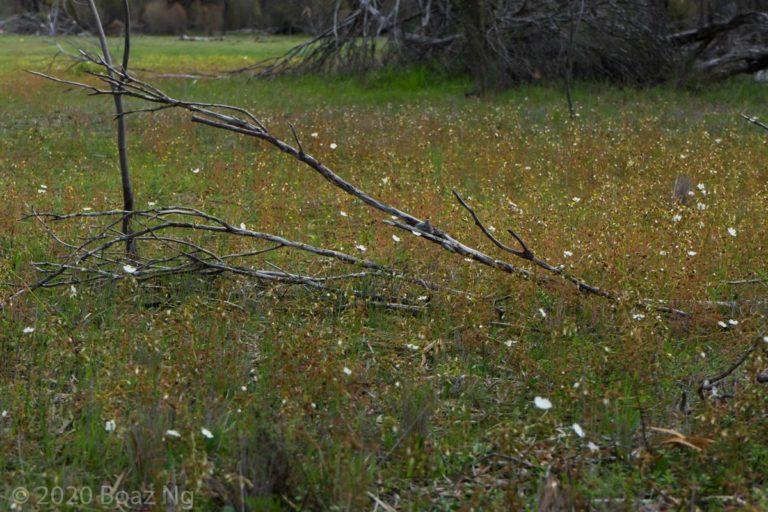 Drosera andersoniana Species Profile