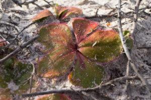 Drosera erythrorhiza complex