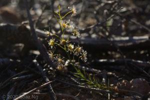 Drosera prophylla