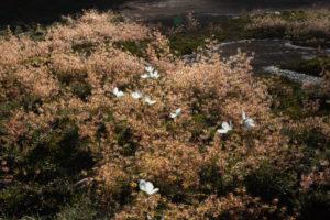 Drosera macrantha