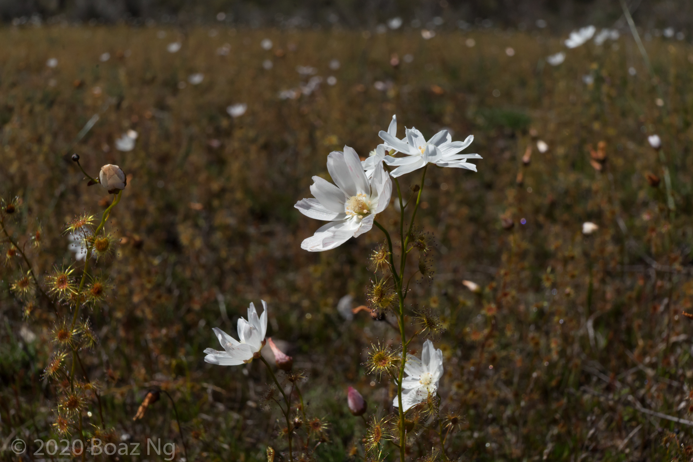 Drosera heterophylla