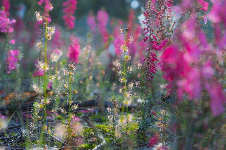 Drosera auriculata amongst heath