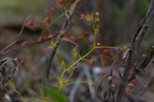 Drosera modesta