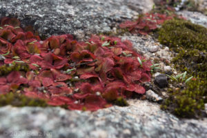 Drosera rosulata