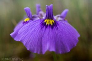 Utricularia beaugleholei subsp. beaugleholei