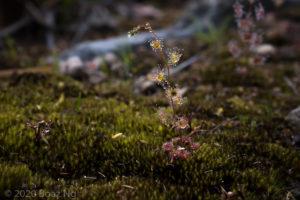 Drosera gracilis – lowland form