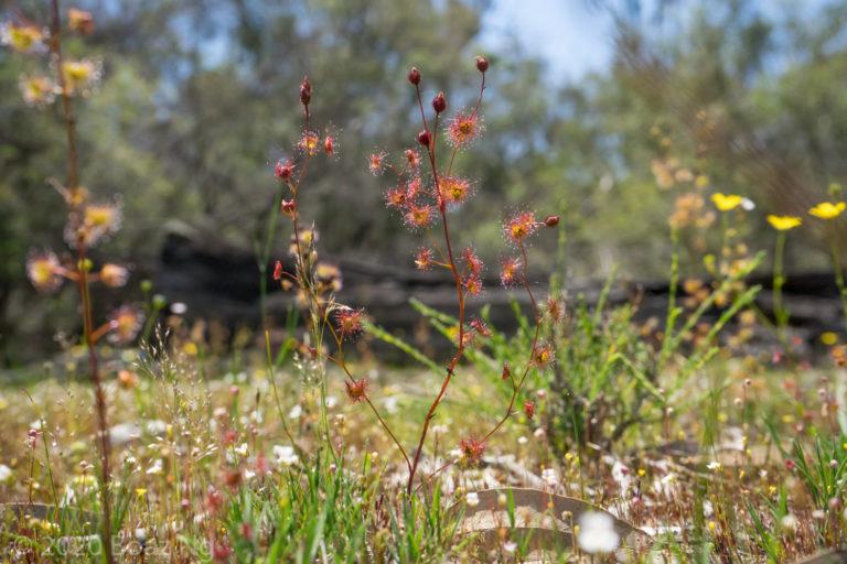 Red Drosera gunniana in the Grampians