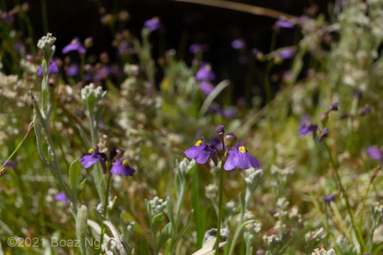 Utricularia beaugleholei subsp. orientalis Species Profile