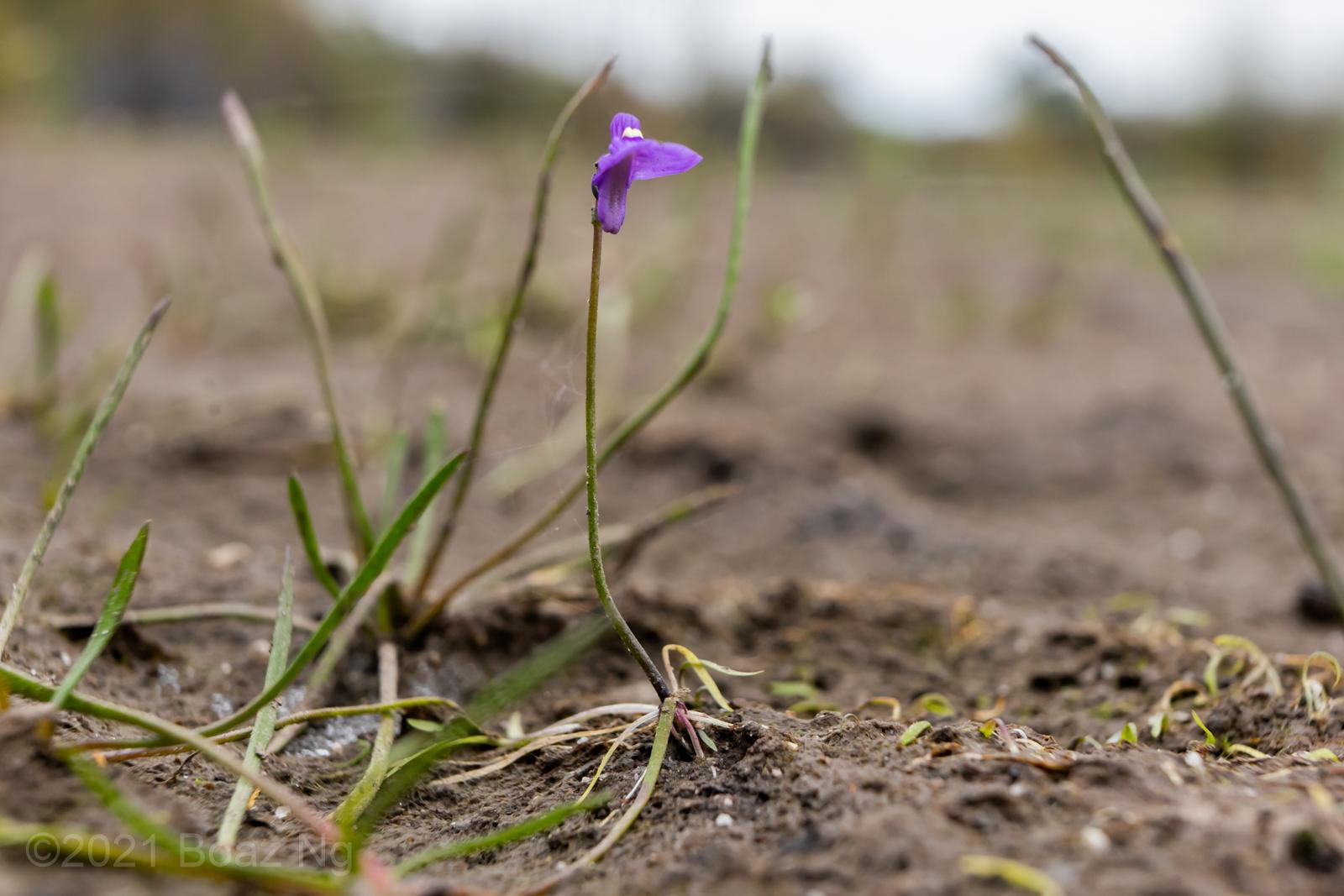 Utricularia oppositiflora