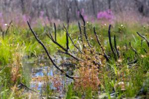 Drosera gracilis – alpine form