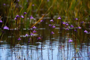 Utricularia dichotoma subsp. dichotoma