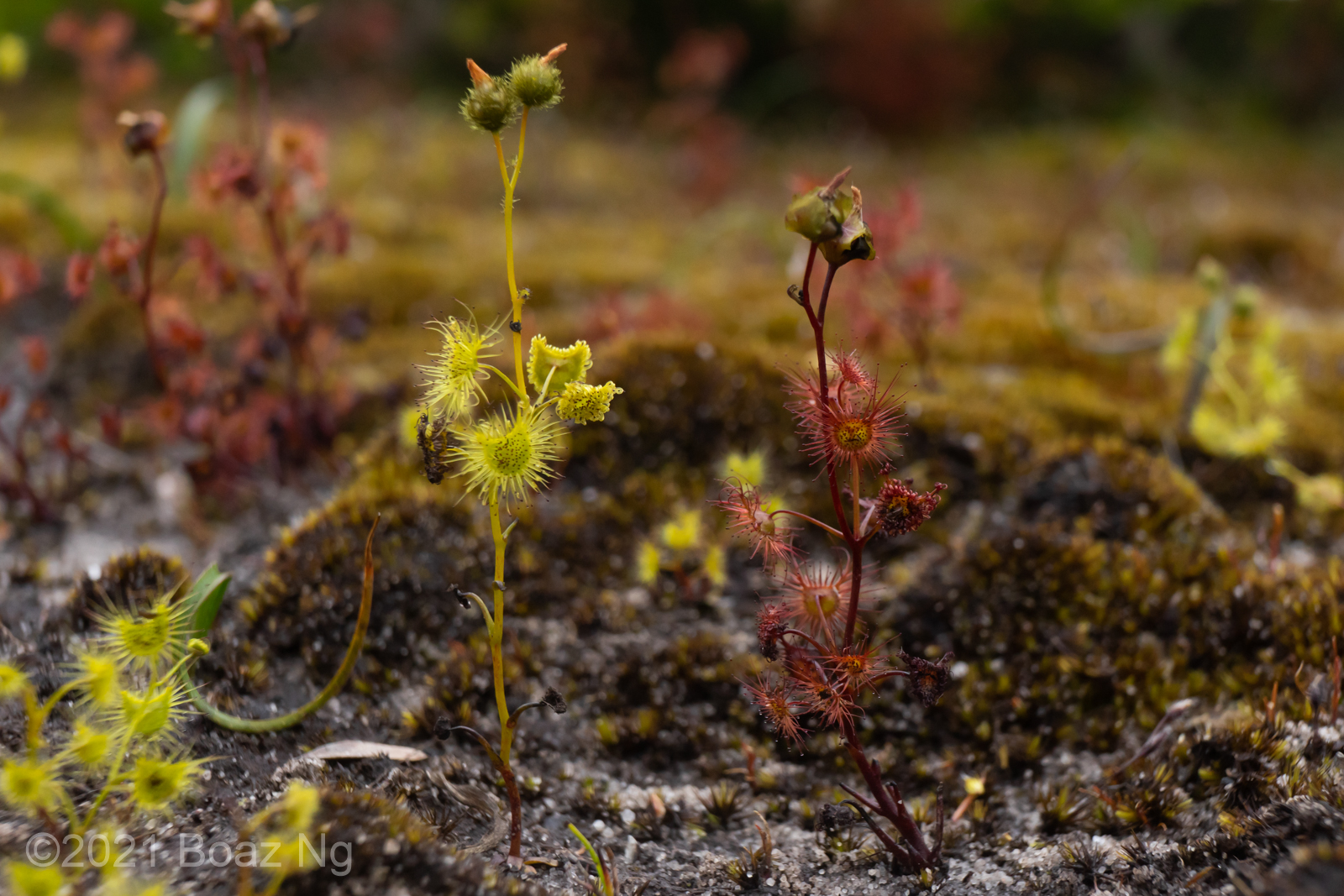 A pictorial key of the Drosera peltata complex