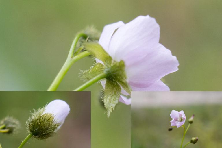 Natural hybrid between Drosera gunniana and D. auriculata
