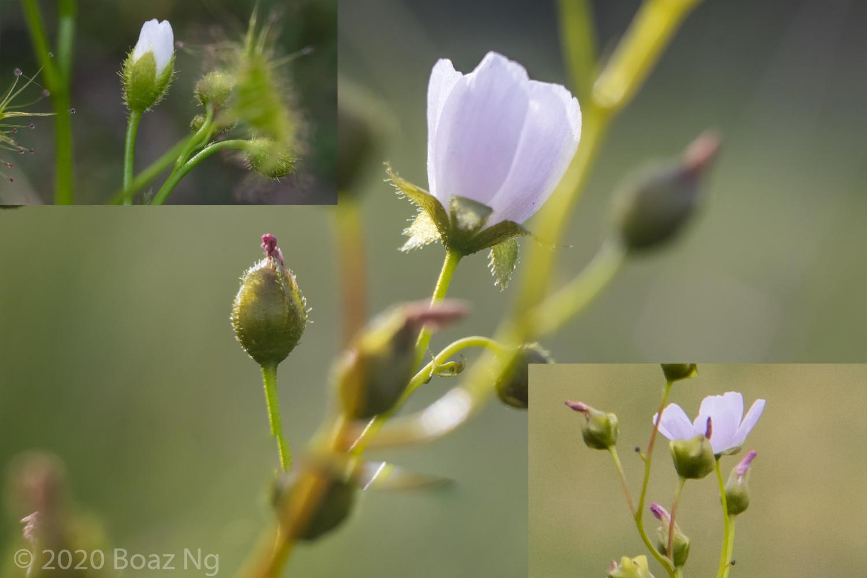 Hybrid between Drosera hookeri and D. auriculata