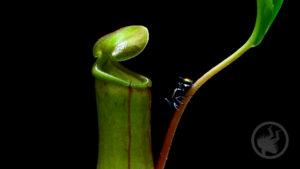 Carnivorous Plant Time-lapse