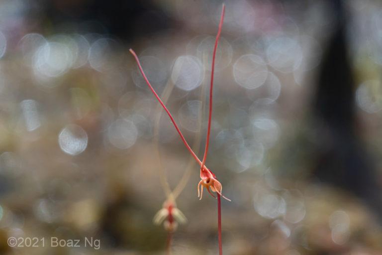 Utricularia capilliflora Species Profile
