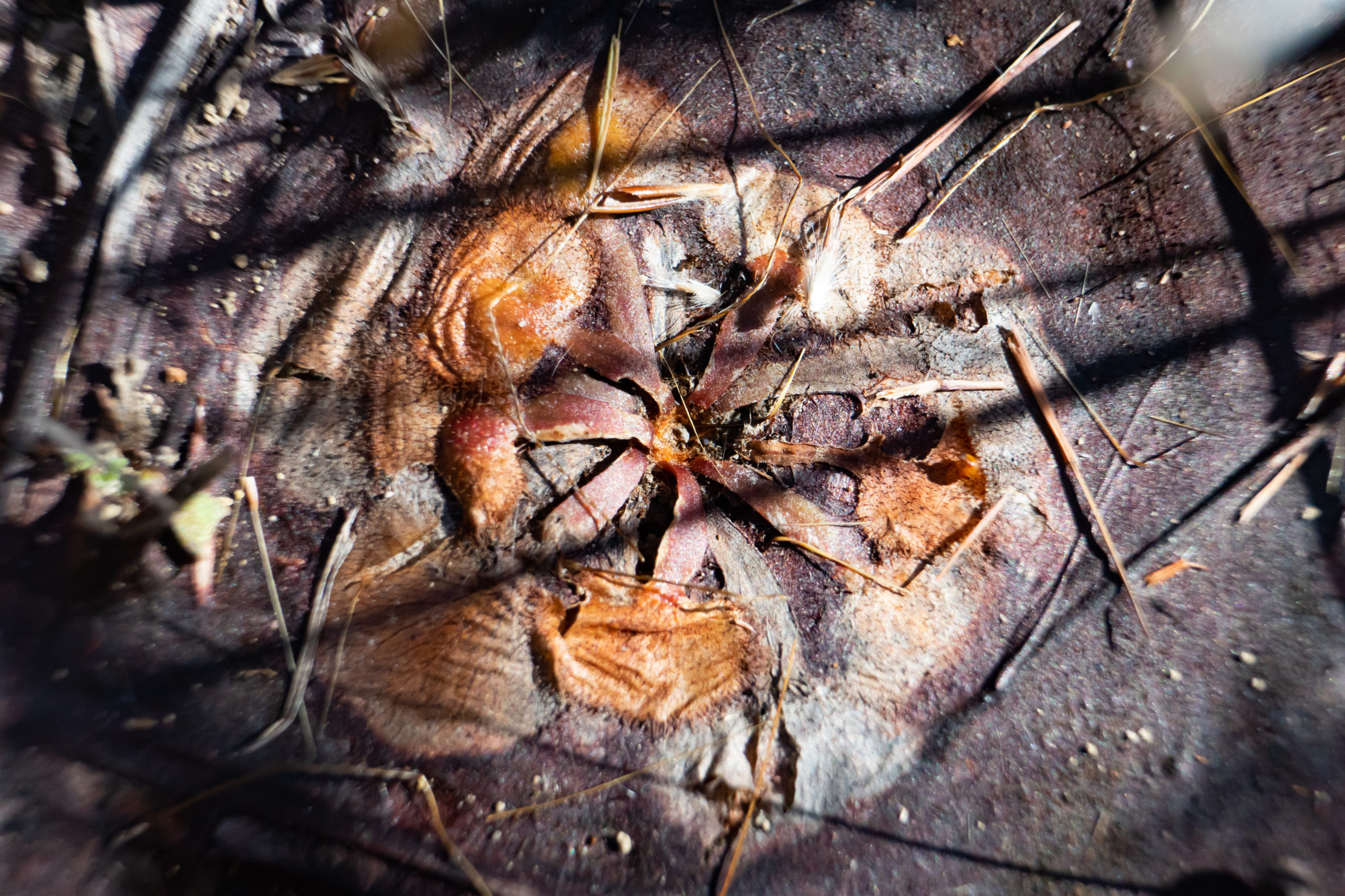 Carnivorous Plants of Australia's Top End