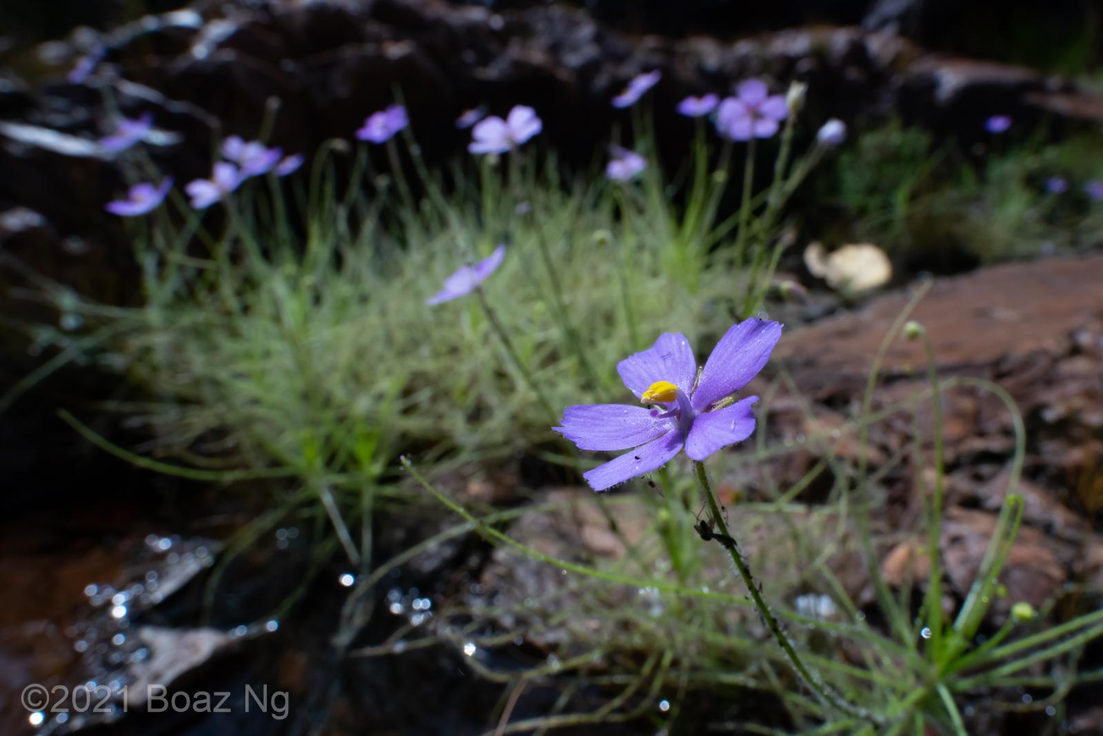 Byblis liniflora Species Profile