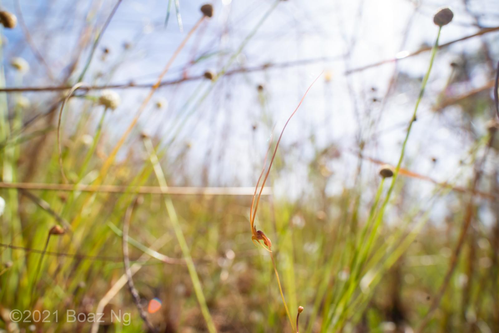 Utricularia dunlopii Species Profile