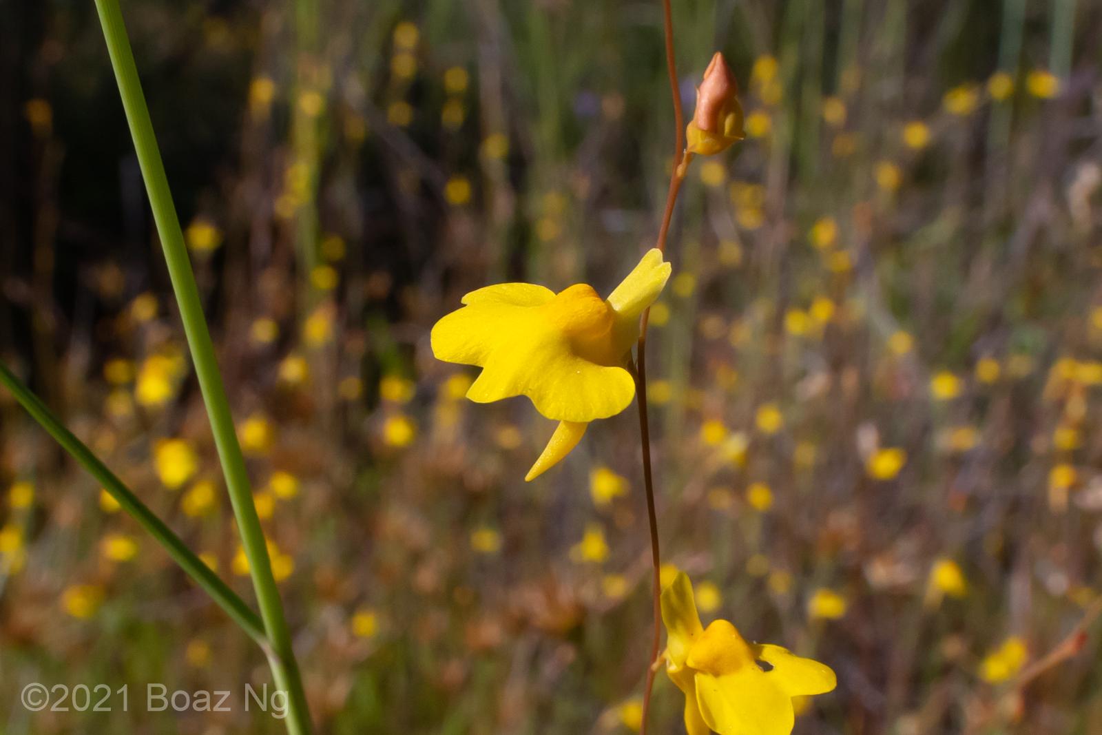 Utricularia chrysantha Species Profile
