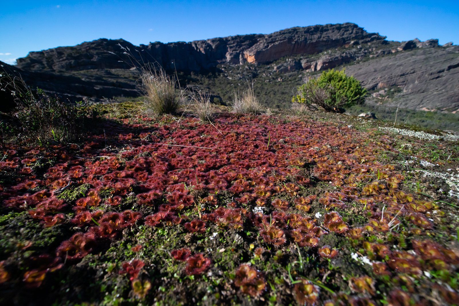 The Grampians in June – Drosera aberrans and D. planchonii