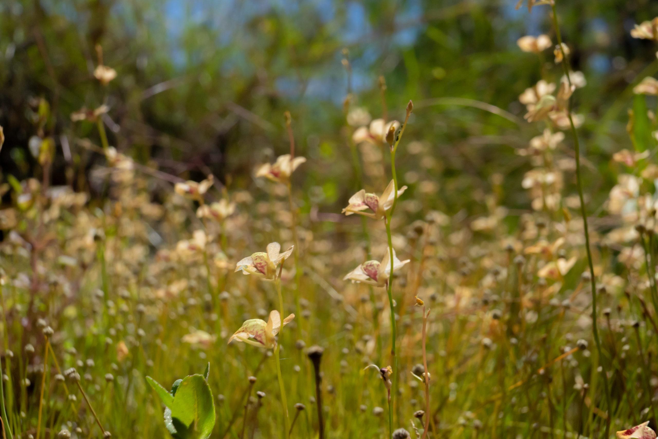 Utricularia fulva Species Profile
