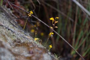 Utricularia bifida Species Profile