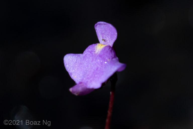 Utricularia simplex Species Profile